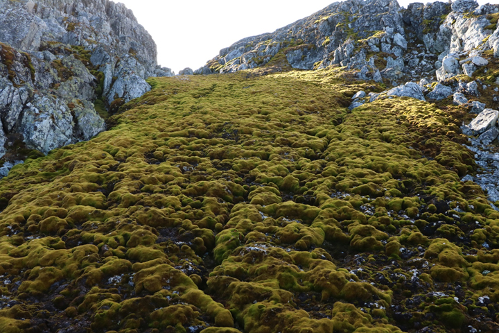 Antarctic Moss From Cape Monaco
